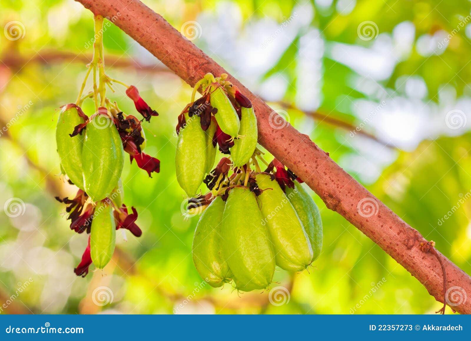 Bilimbi果树