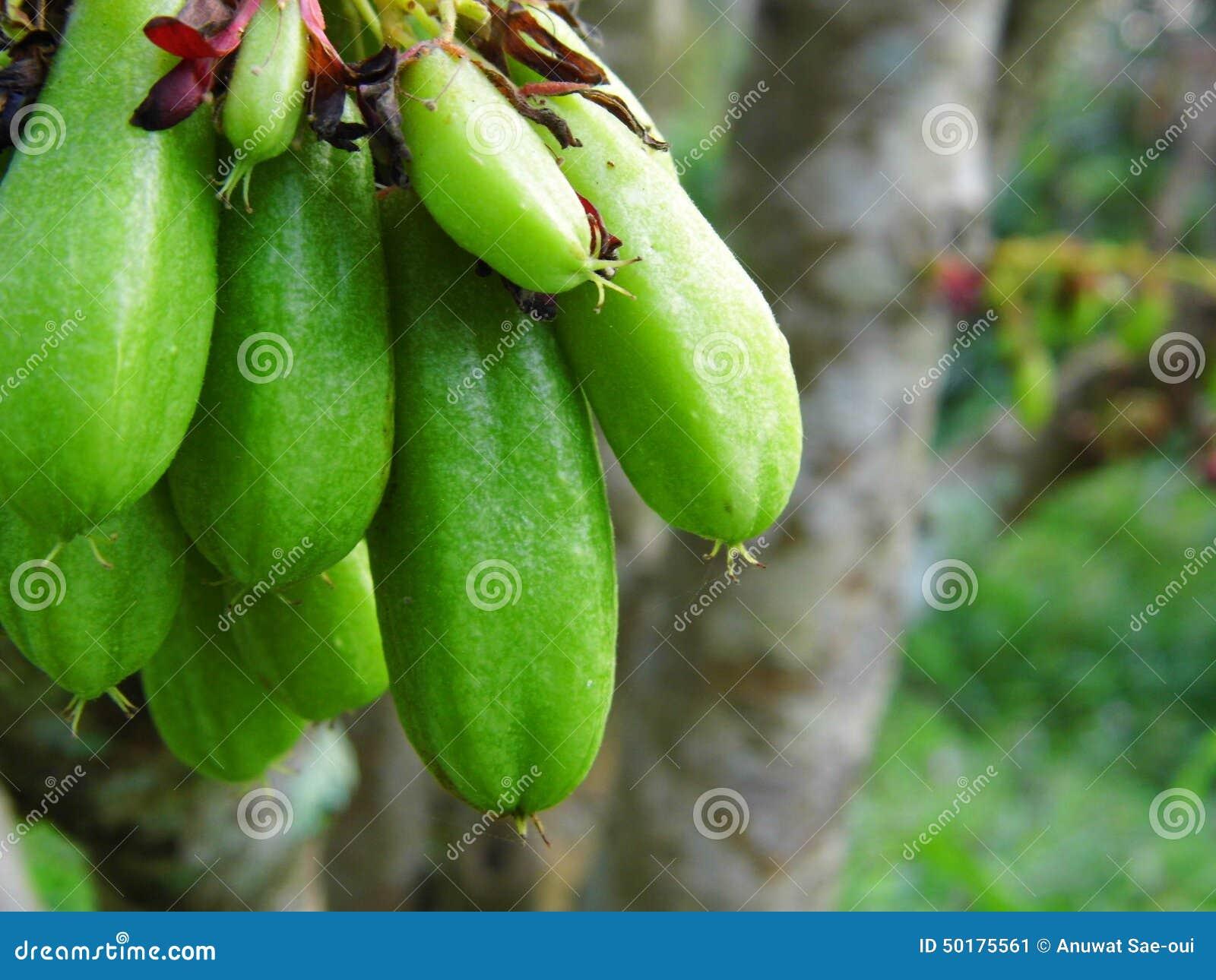 Bilimbi, Bilimbing, of komkommerboom