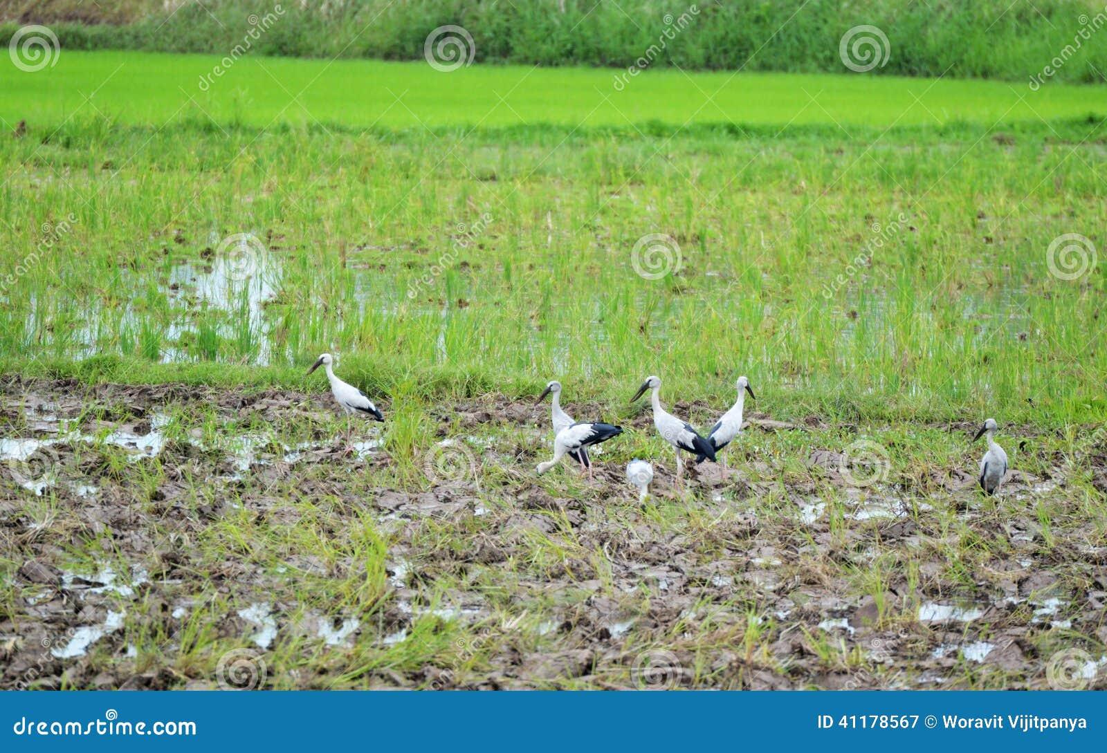 Bill ibis birds