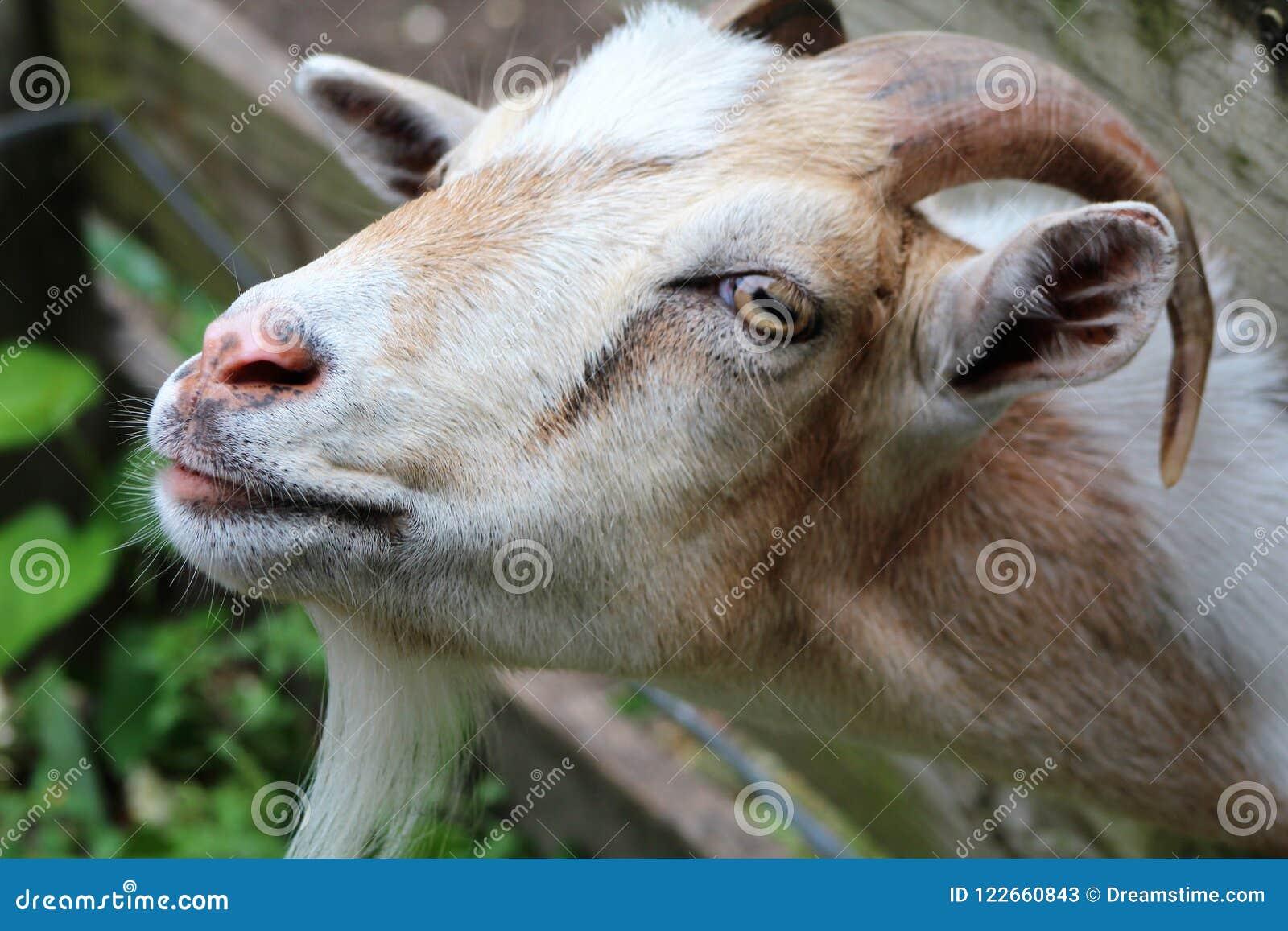Billy a cabra