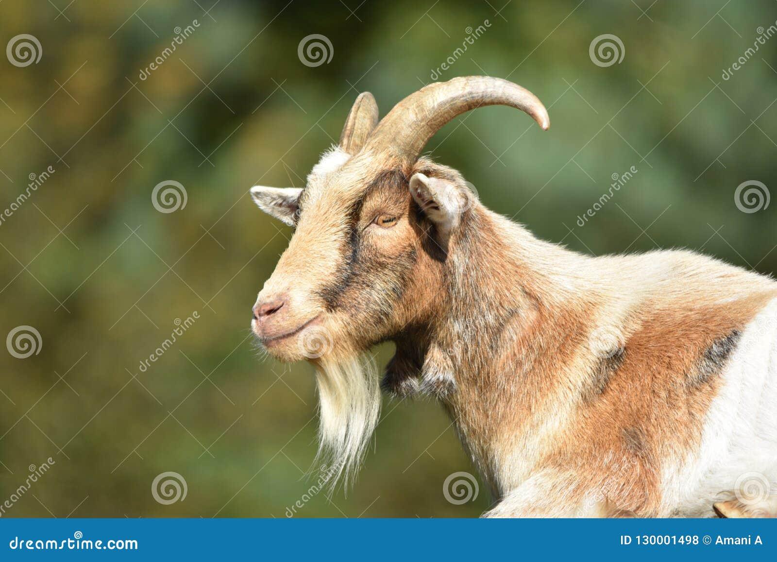 Billy Goat/cabra masculina