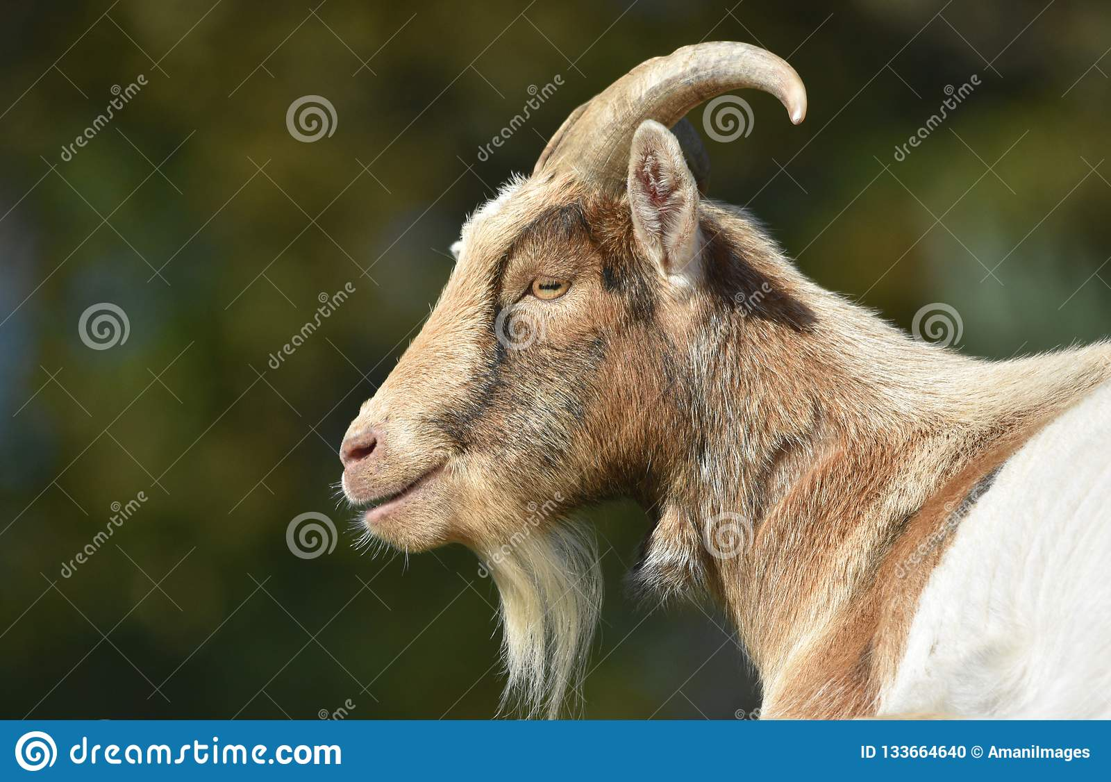 Billy goat close up of head and face