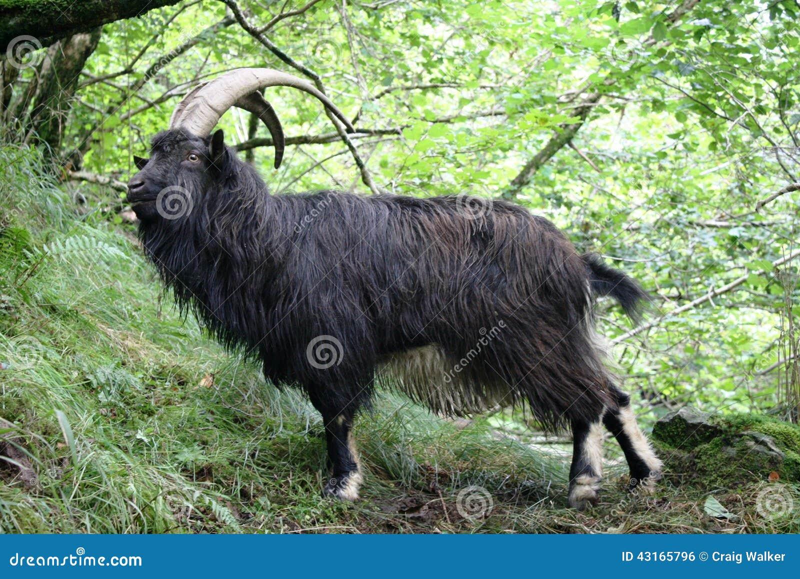 Billy Goat på västra höglands- väg nära inversnaid Skottland