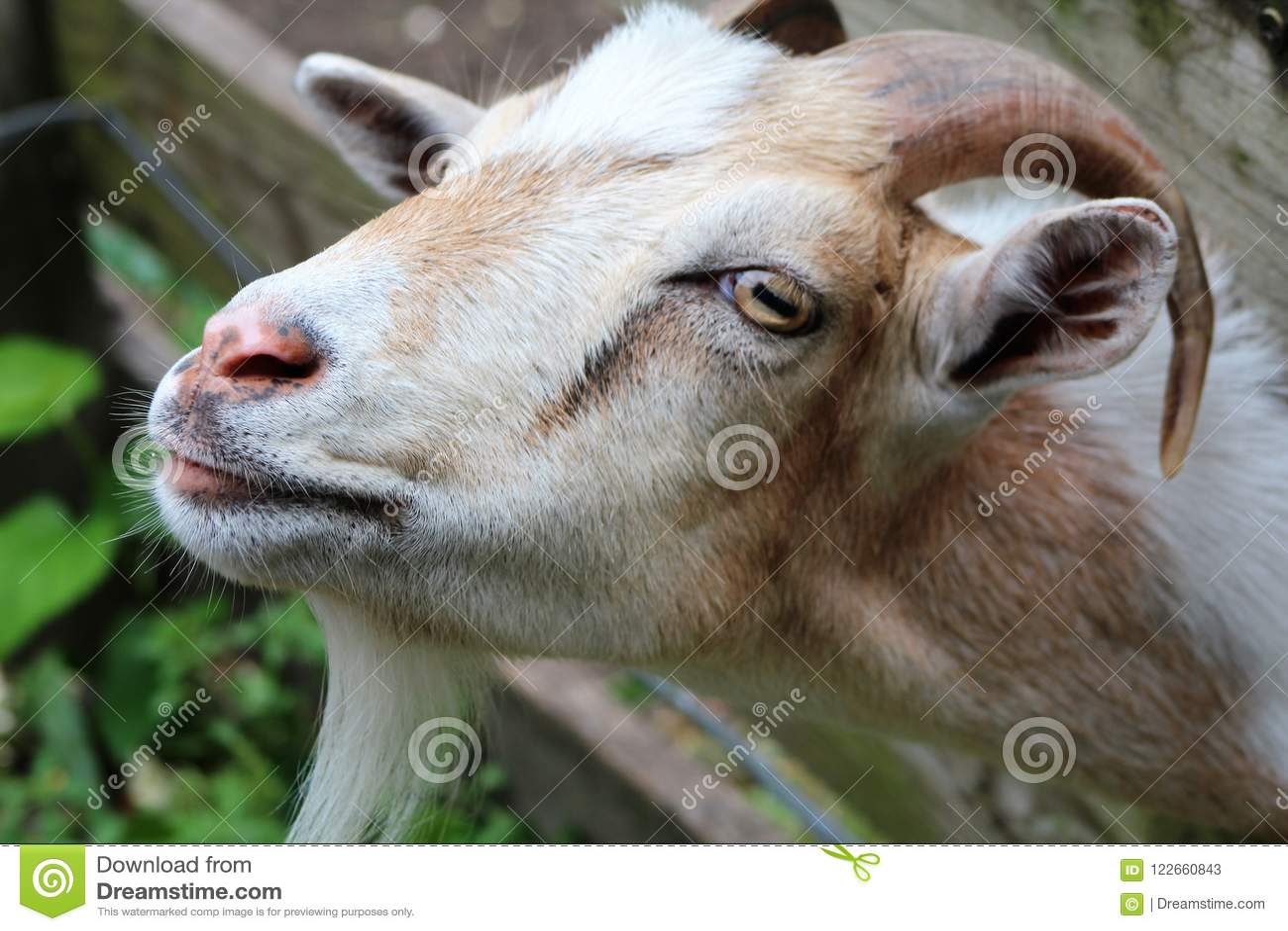 Billy la chèvre