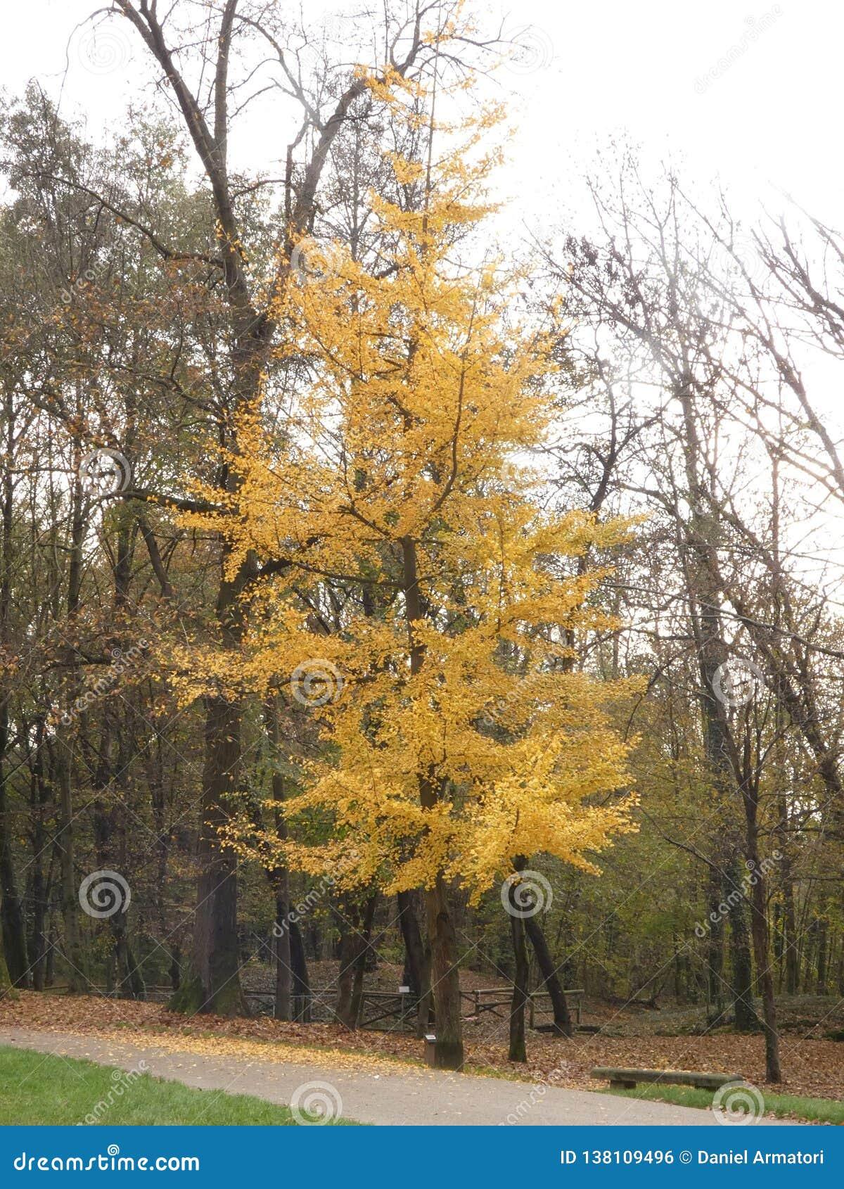 Biloba del Ginkgo en otoño