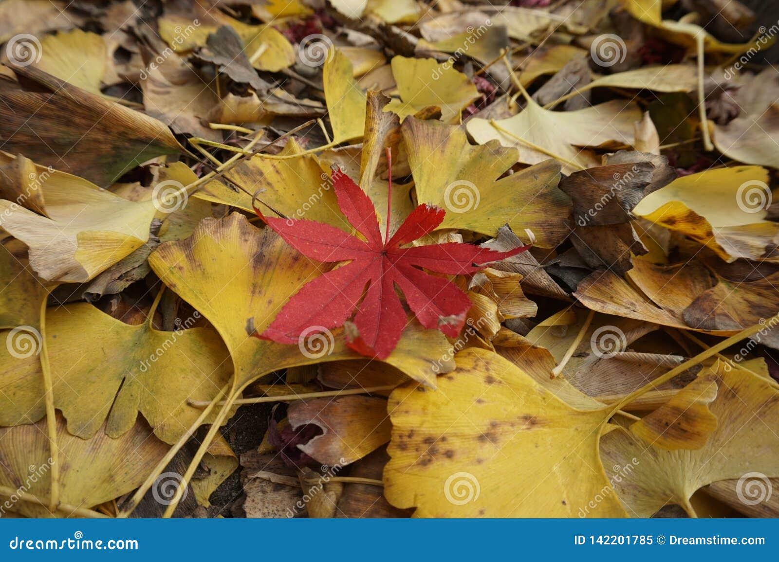 Biloba e folhas de bordo da nogueira-do-Japão, cenário do outono, ramos murchos e folhas pouco vermelho!
