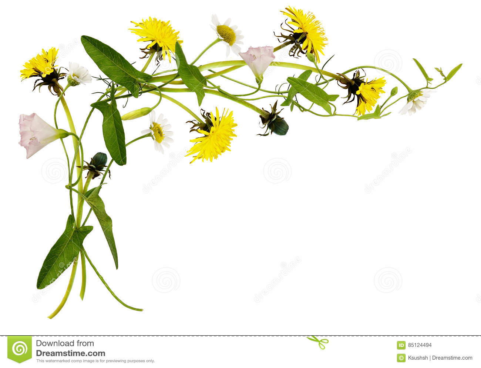 Bindweed Dandelion And Daisy Flowers And Leaves In Corner Arran
