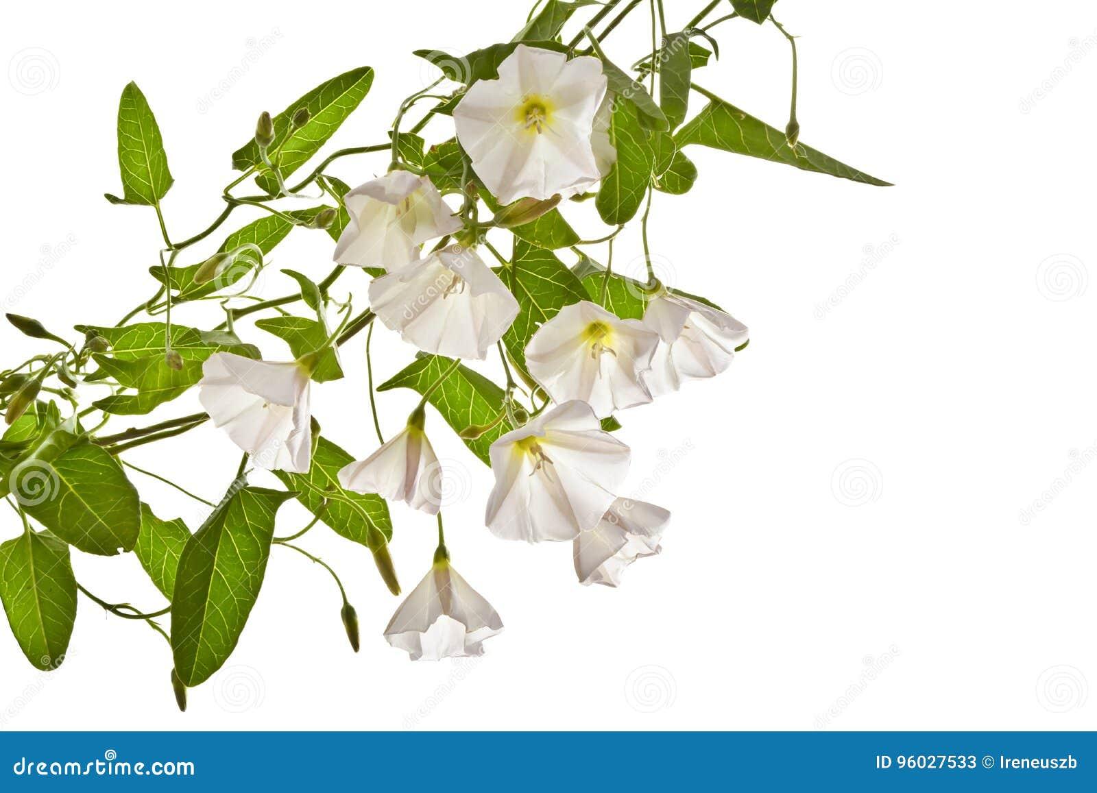 Bindweed na białym tle