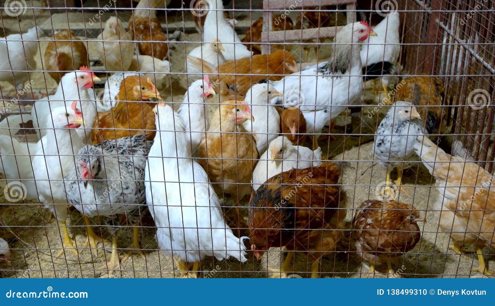 Binnenlands gevogelte in metaalkooi