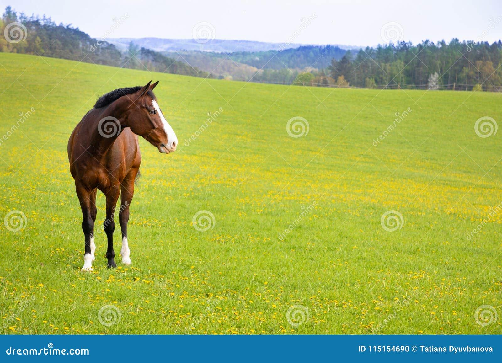 Binnenlands paard op een gebied