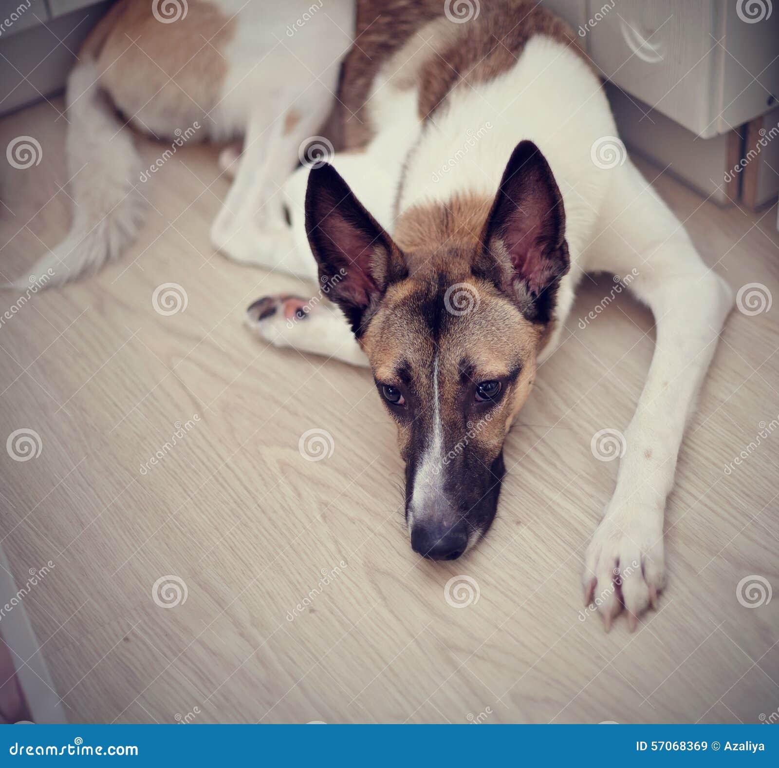 Binnenlandse hond