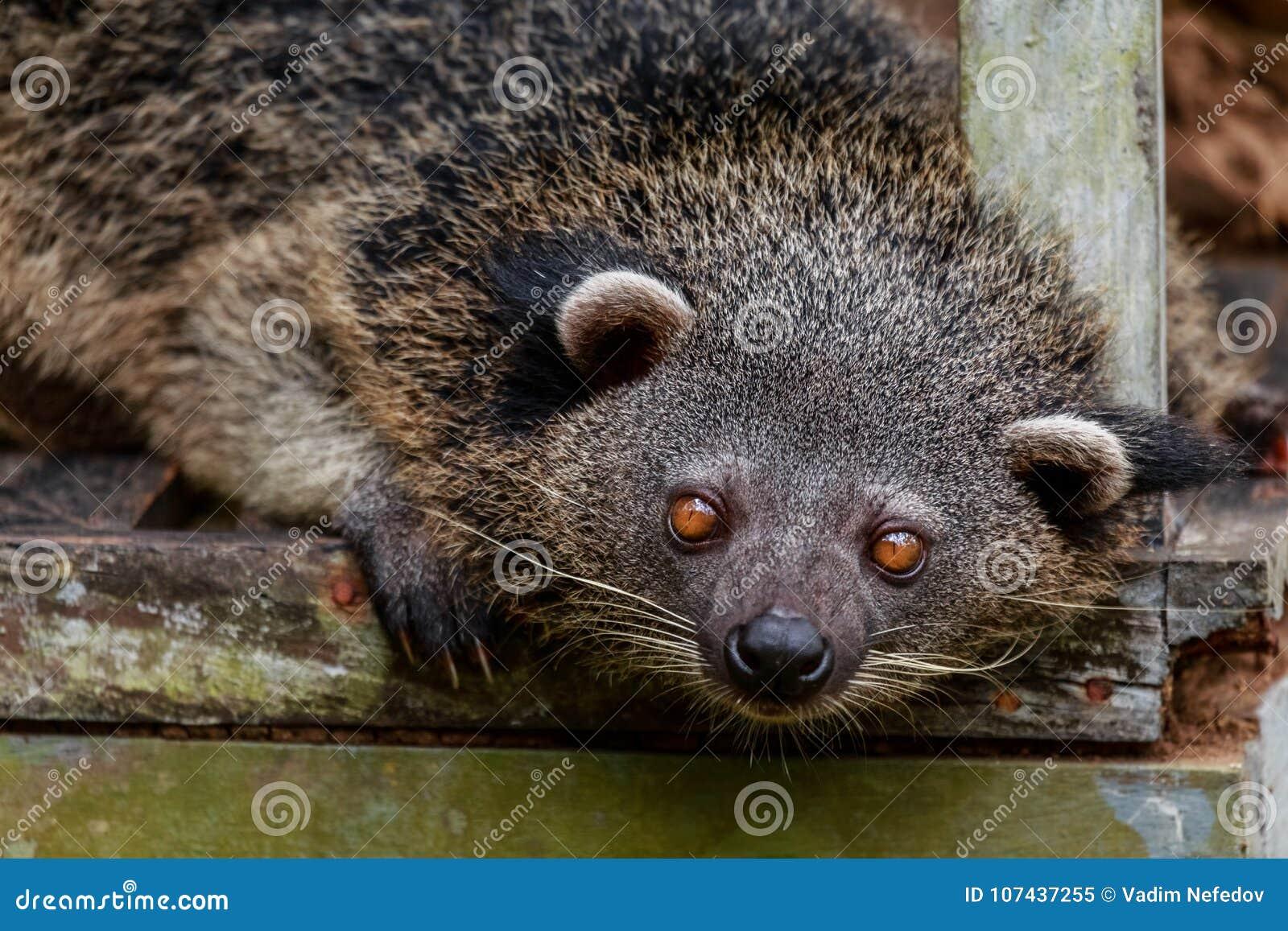 Binturong ή philipino bearcat που κοιτάζει περίεργα, Palawan, Phili