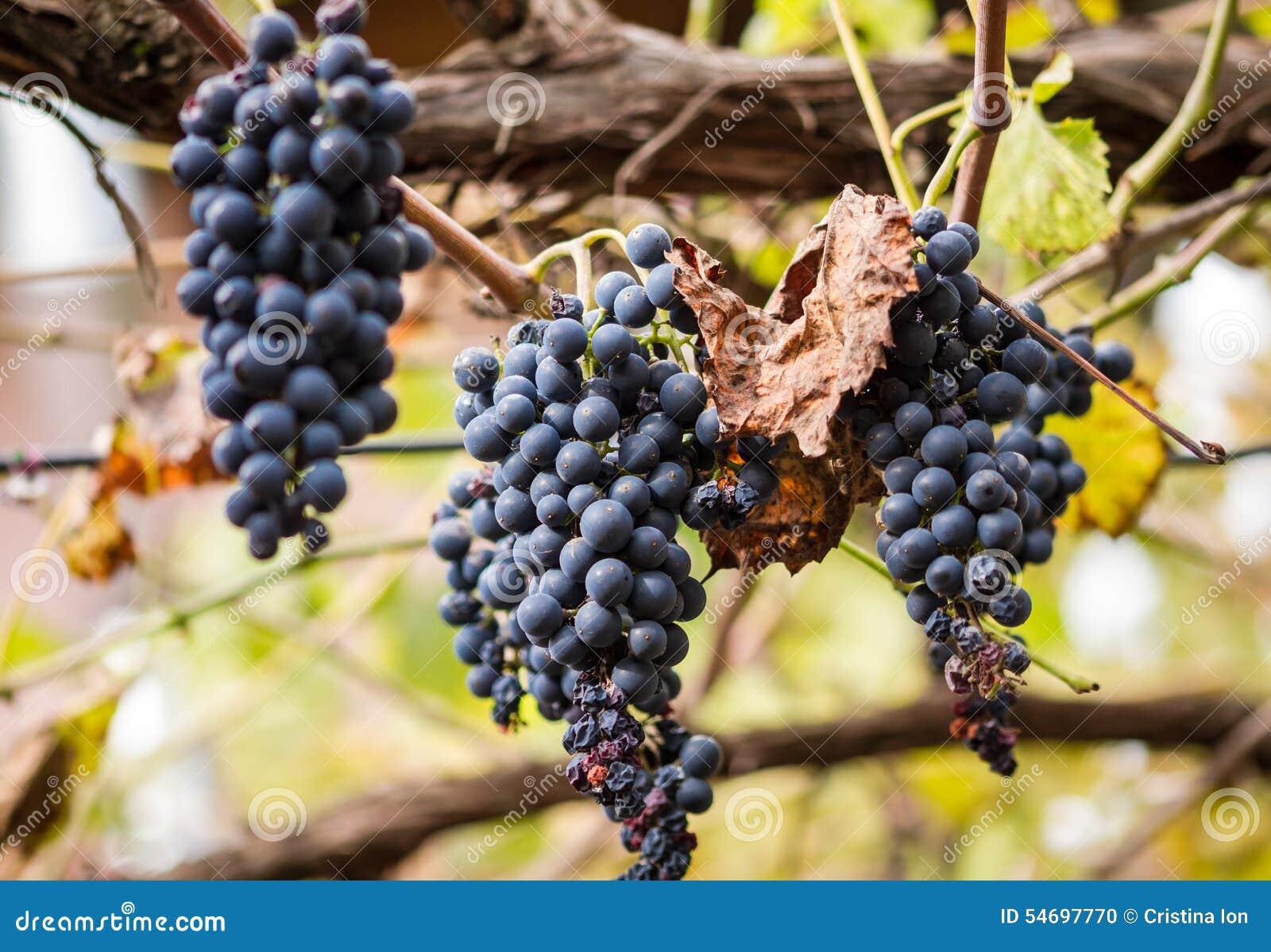 Bio blue grapes hanging