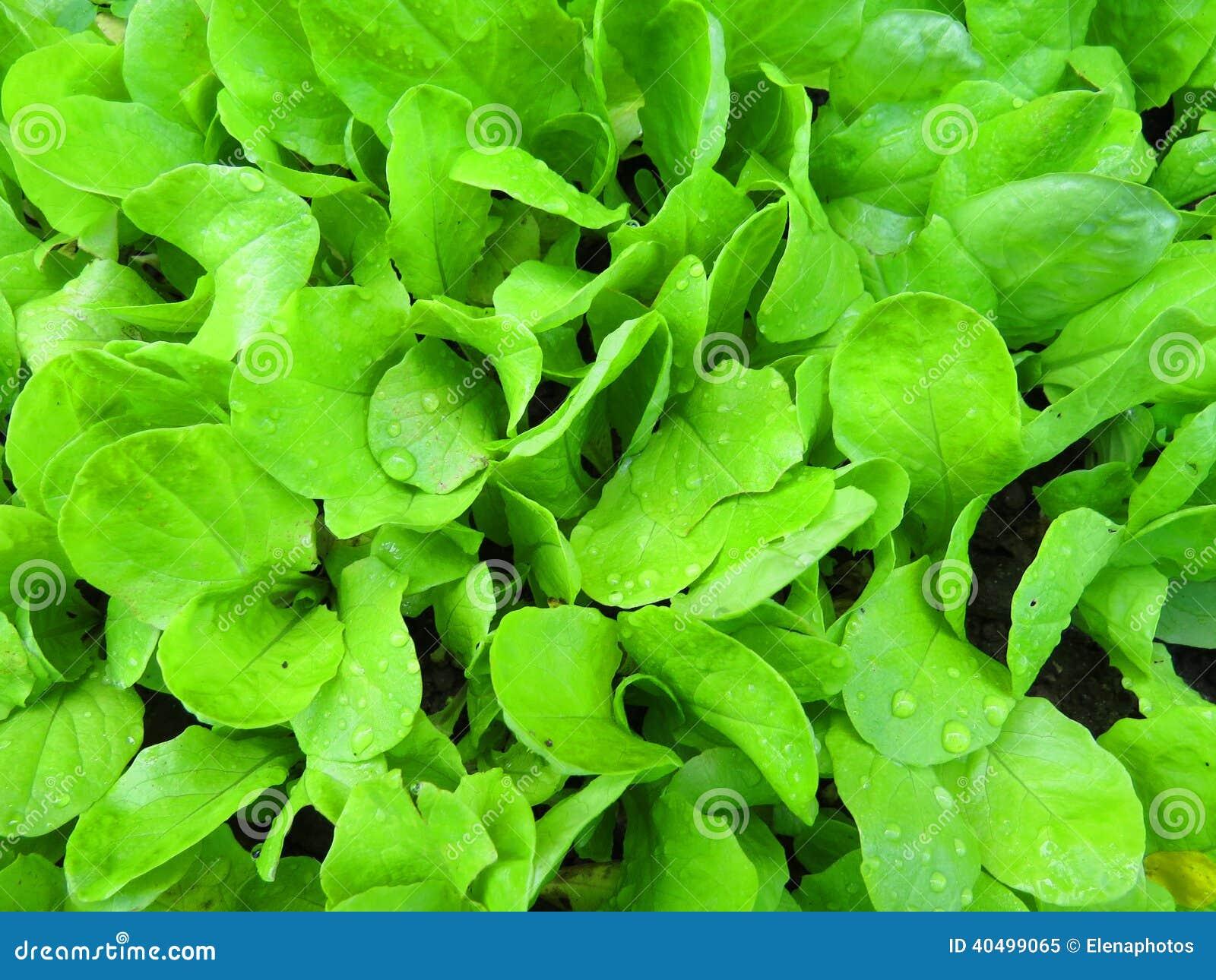 Bio lettuce