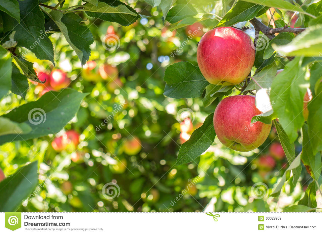 Bio red apples in tree