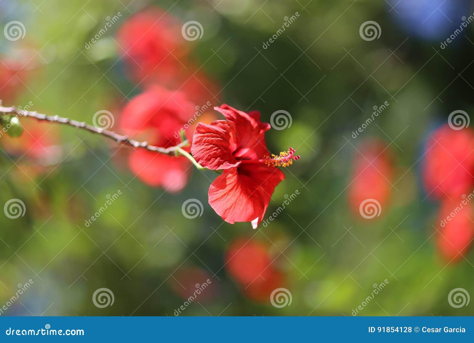 Biodiversiteit De installatie van hibiscus rosa-sinensis