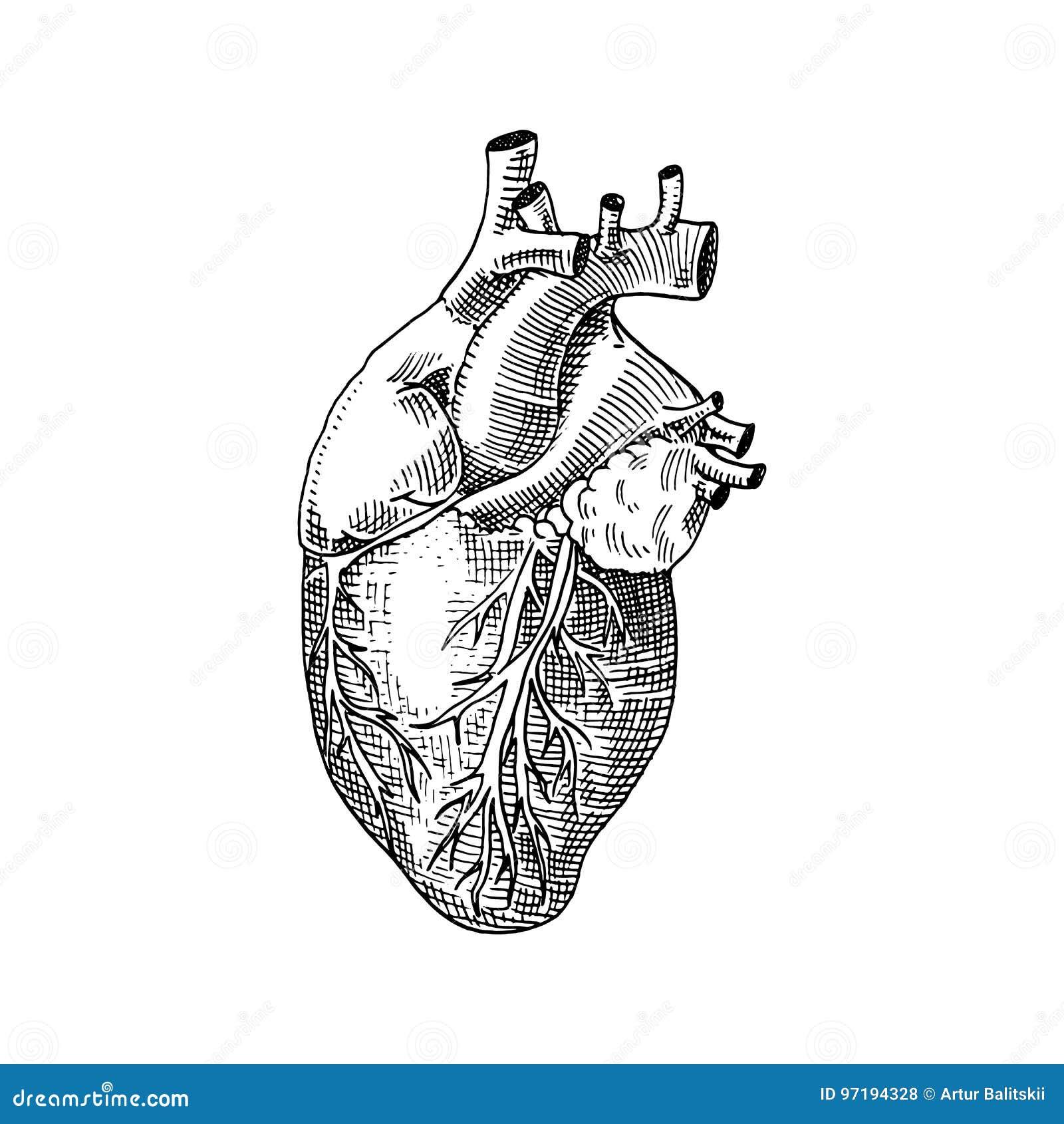 Biología humana, ejemplo de la anatomía de los órganos mano grabada dibujada en viejo estilo del bosquejo y del vintage corazón d