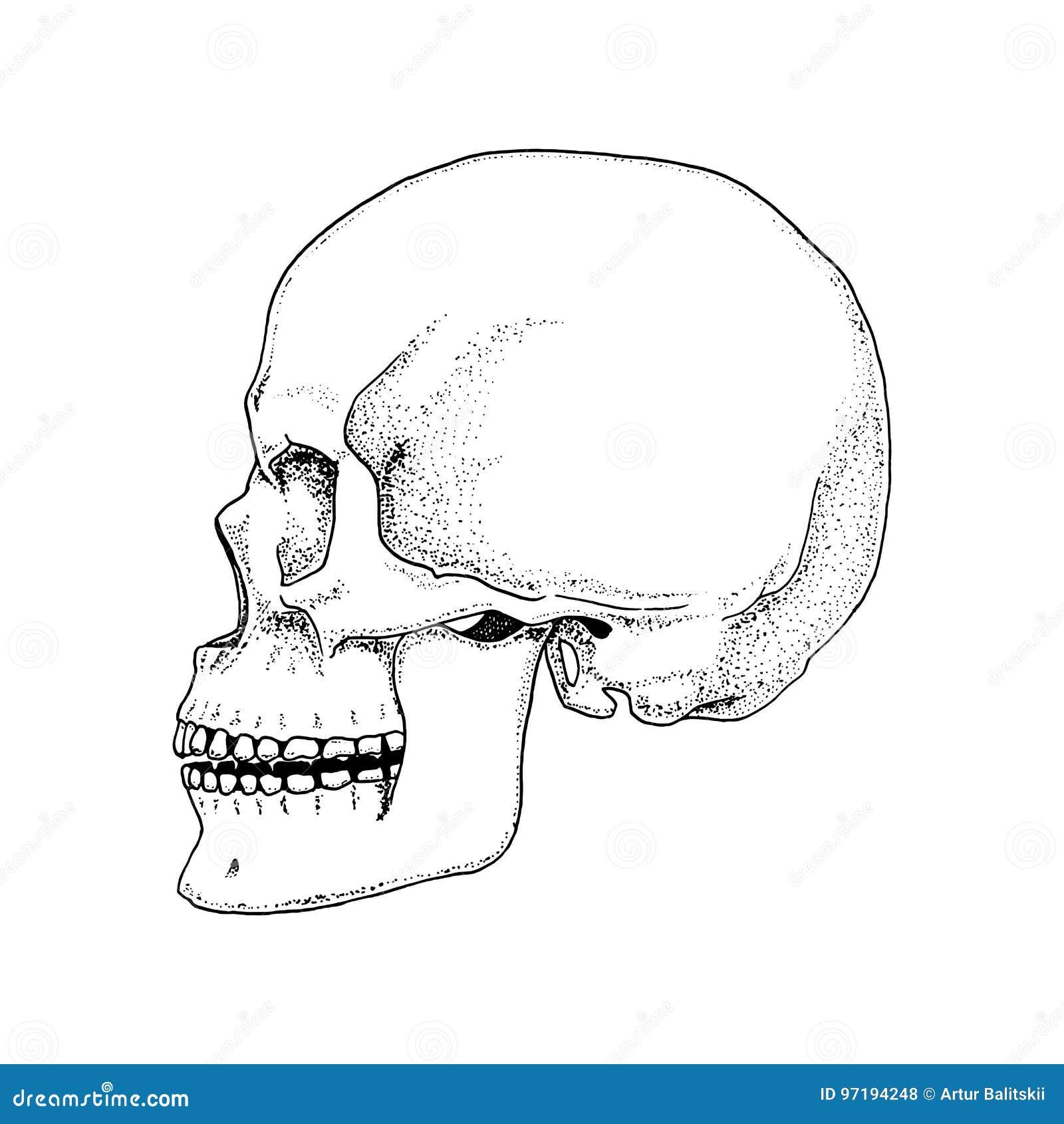Anatomía Del Esqueleto De La Mano Ilustración del Vector ...