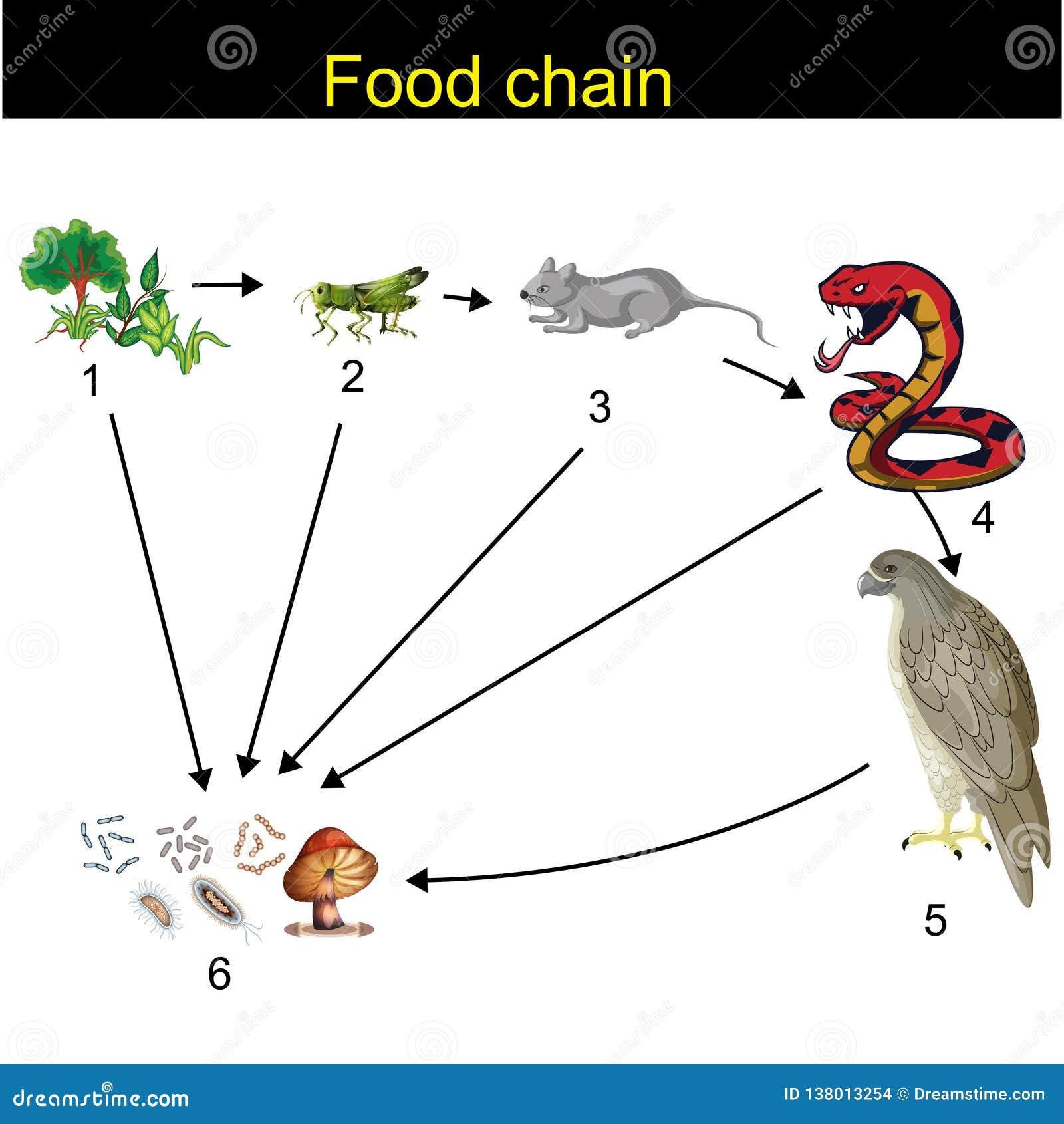 Biologia - Karmowego łańcuchu przegląd