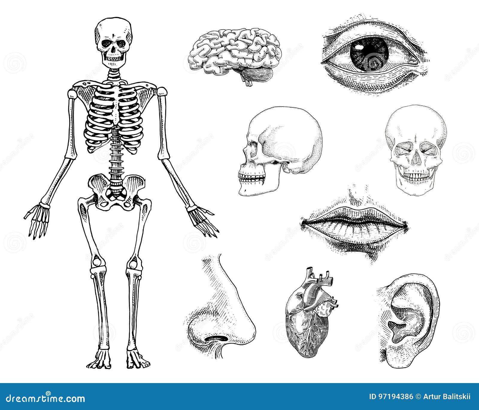 Atemberaubend Anatomie Definition Biologie Zeitgenössisch - Anatomie ...