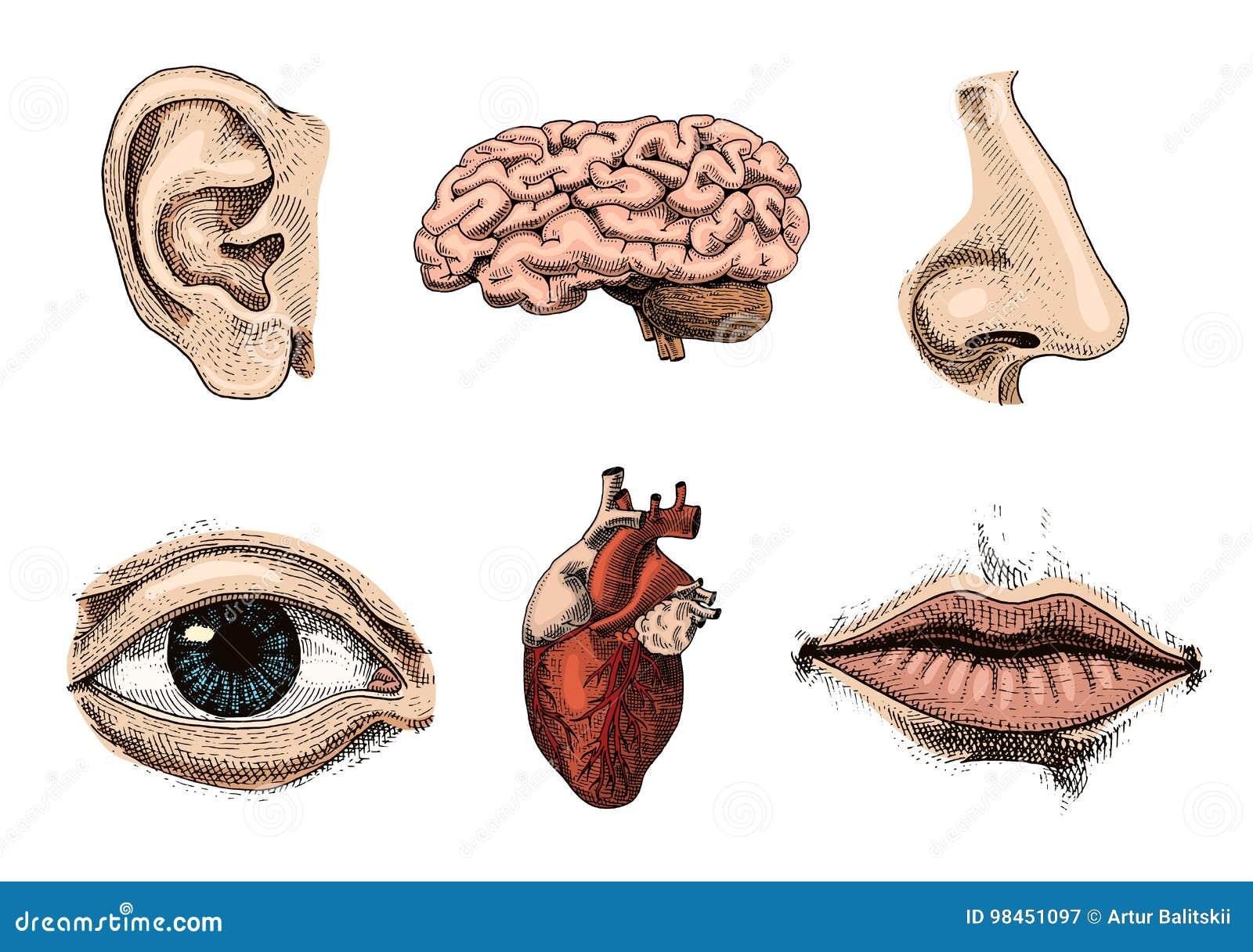 Biologie humaine, illustration d anatomie d organes gravé tiré par la main dans le vieux style de croquis et de vintage baiser dé