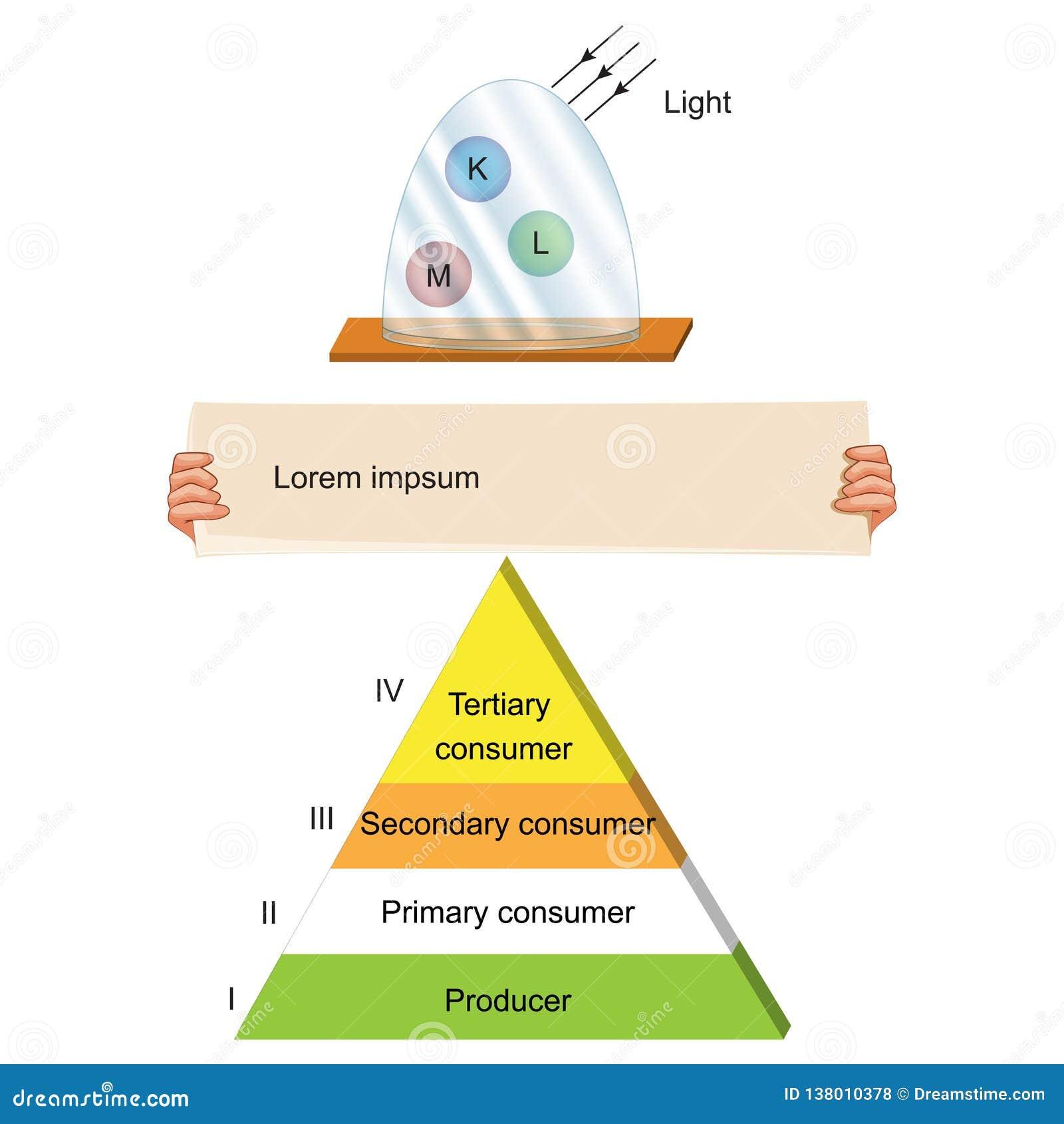 Biologie - voedselketenpiramide