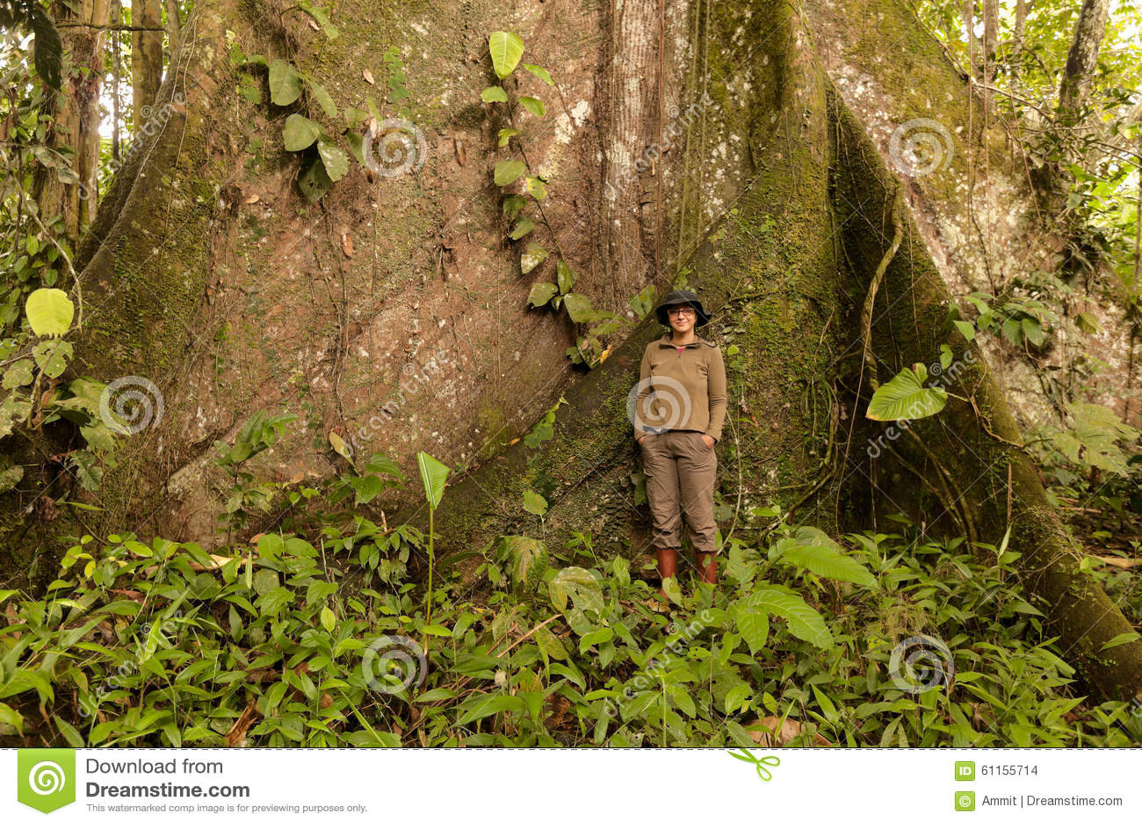 Kapok Tree, Ceiba Pentandra, Ecuador Stock Photo ...