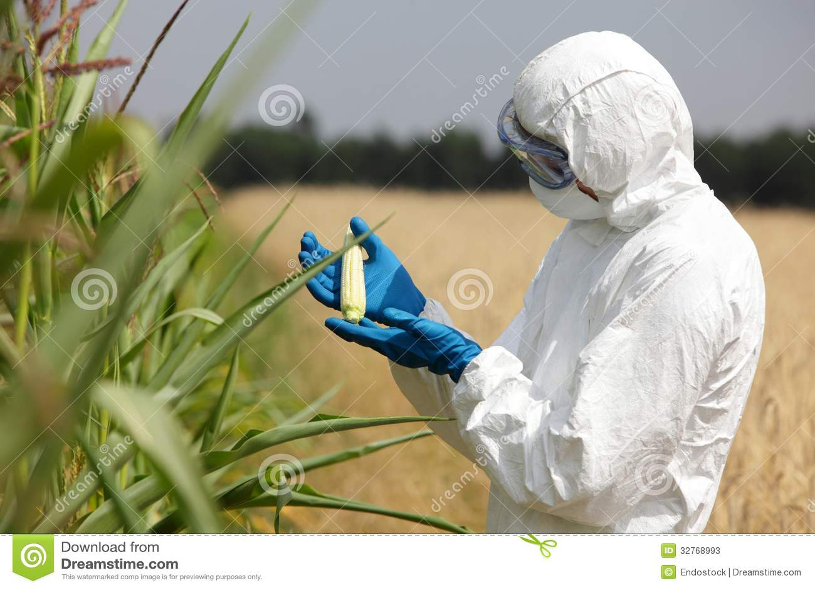 biotechnology engineer examining immature corn co stock