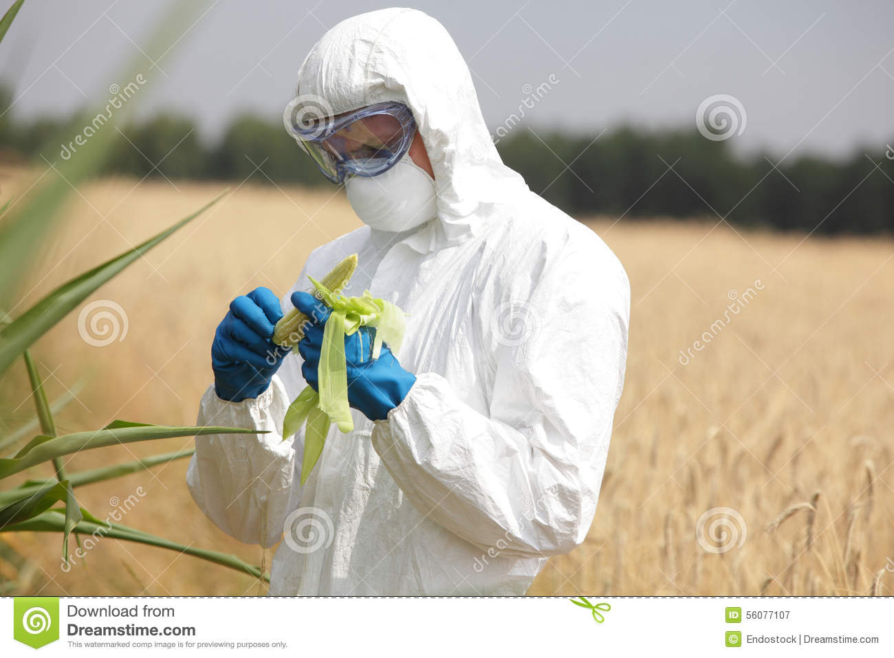 Biotechnology engineer on field examining corn cob on field
