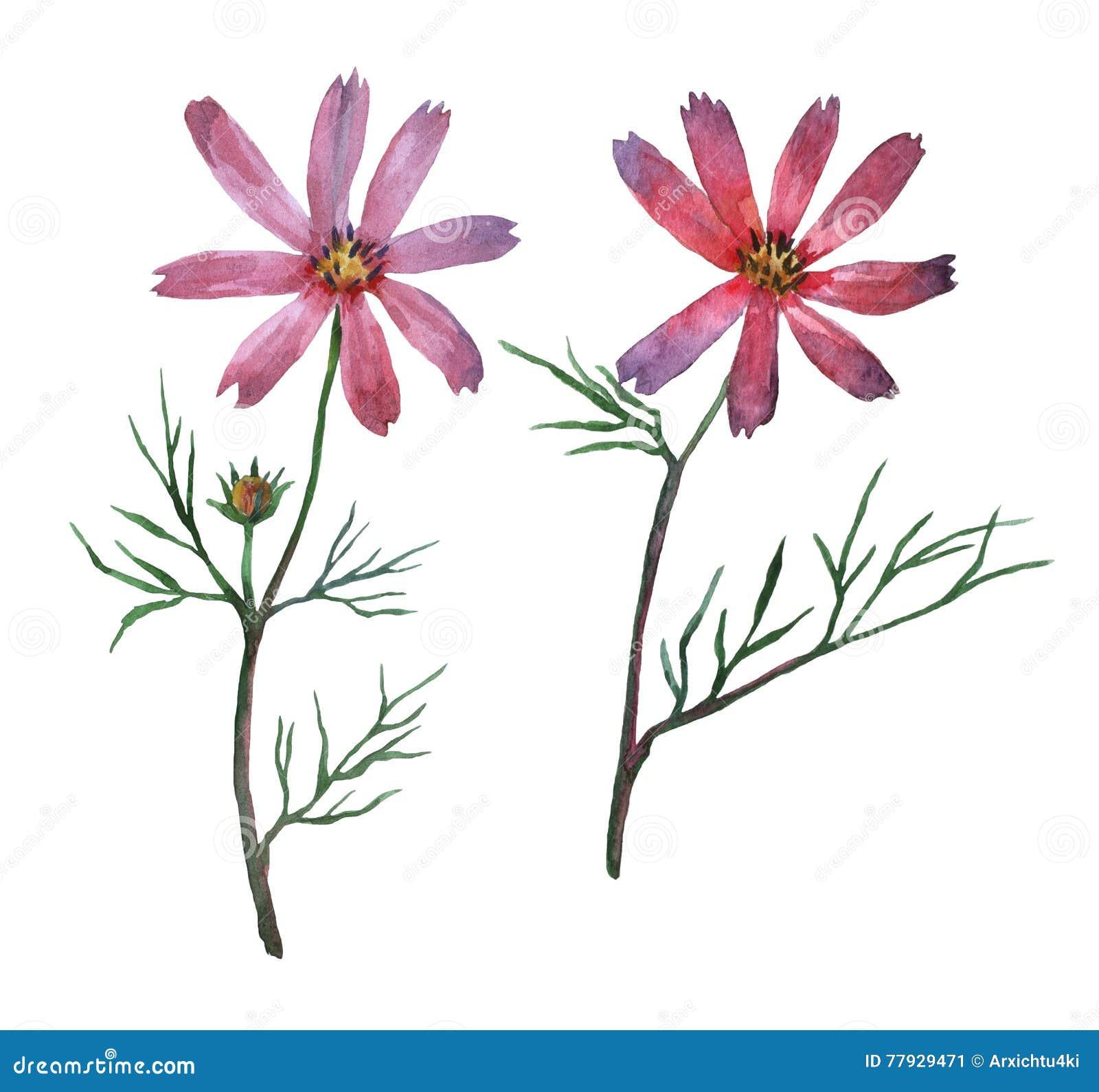 Bipinnatus cor-de-rosa do cosmos, chamado geralmente o cosmos do jardim ou o áster mexicano