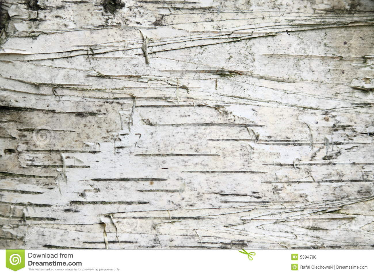 Gray Birch Bark