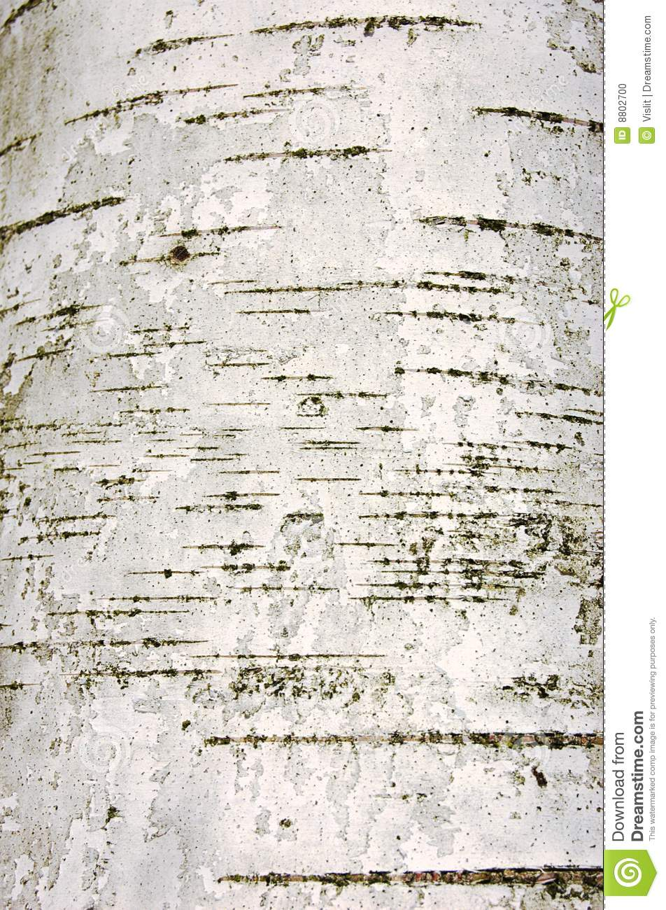 The young birch bark texture white with black cracks.