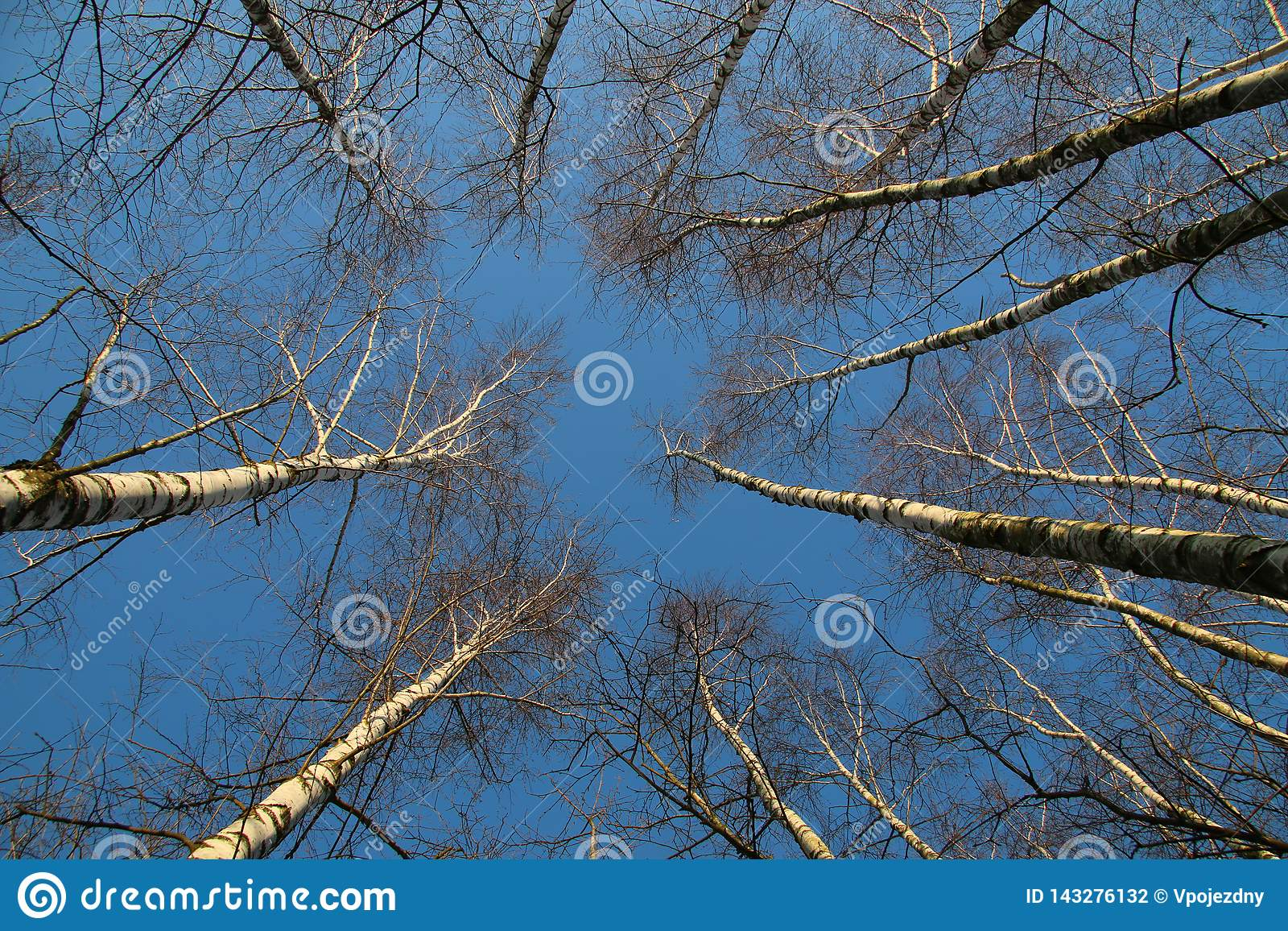 Birch forest looking up