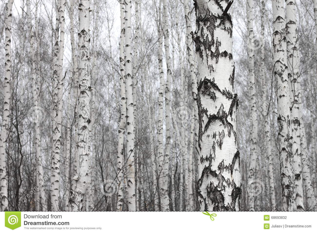Birch forest, many beautiful birches in early spring