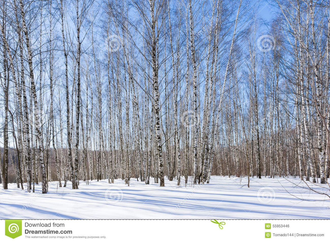 birch grove in the sunny winter day stock photo image