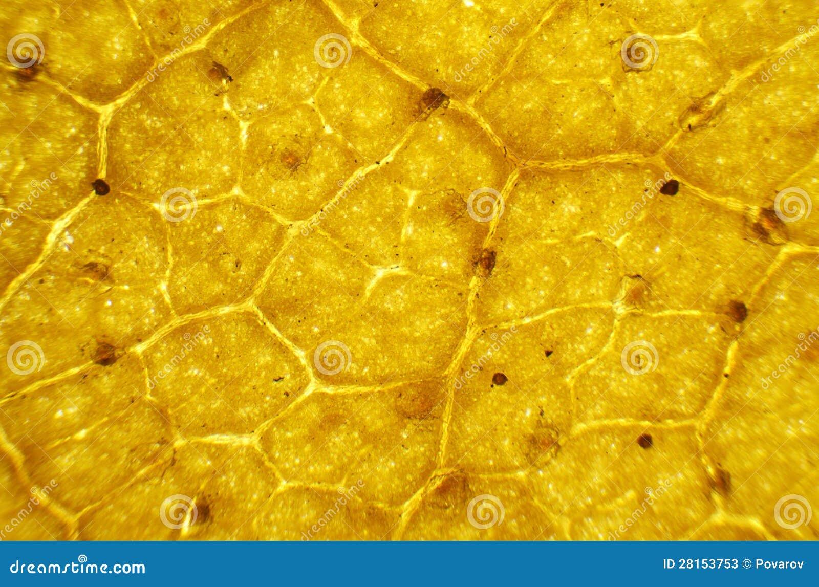 Birch Leaf Under The Microscope Stock Photos Image 28153753