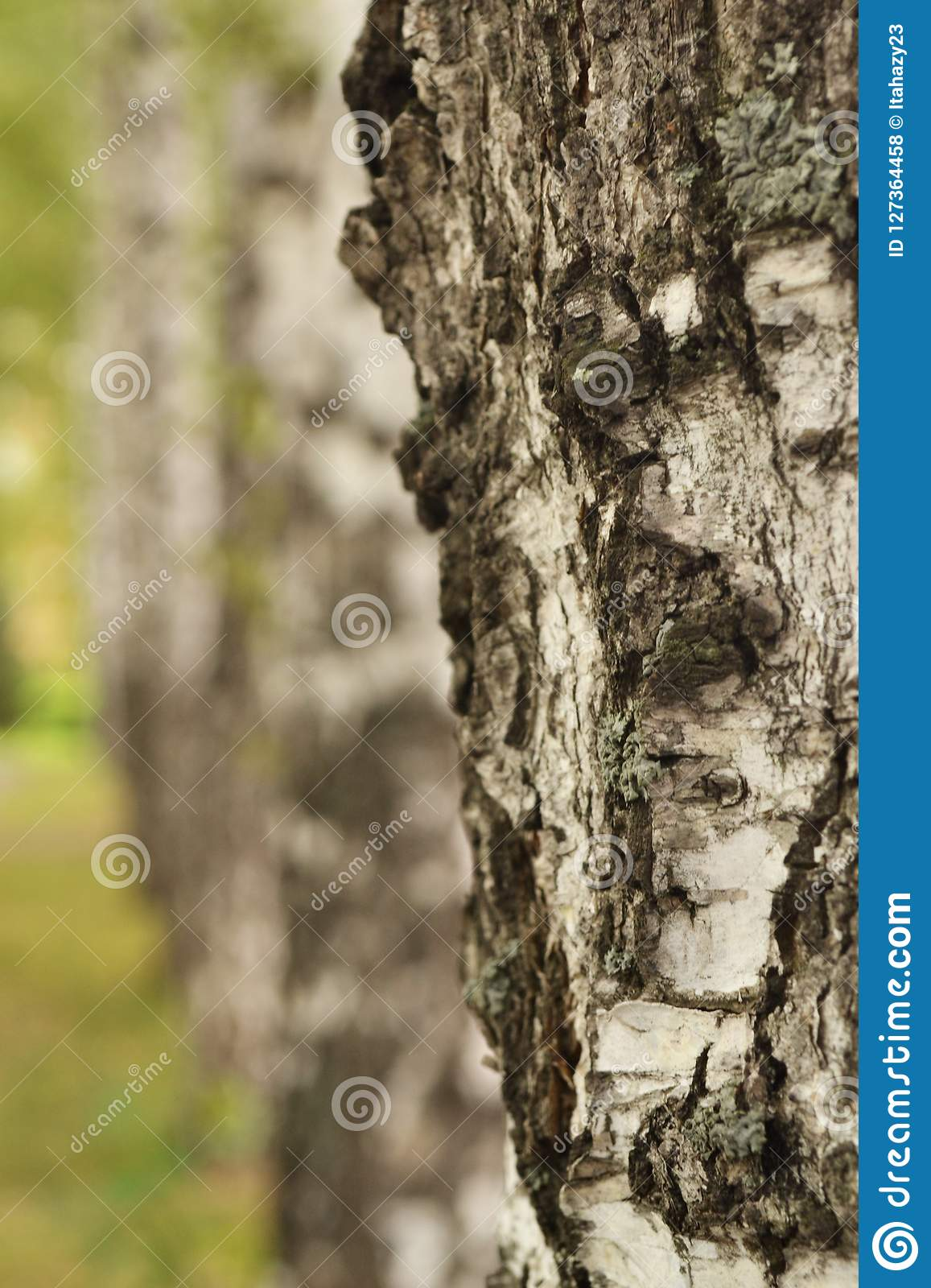 detail of silver birch tree stock photography