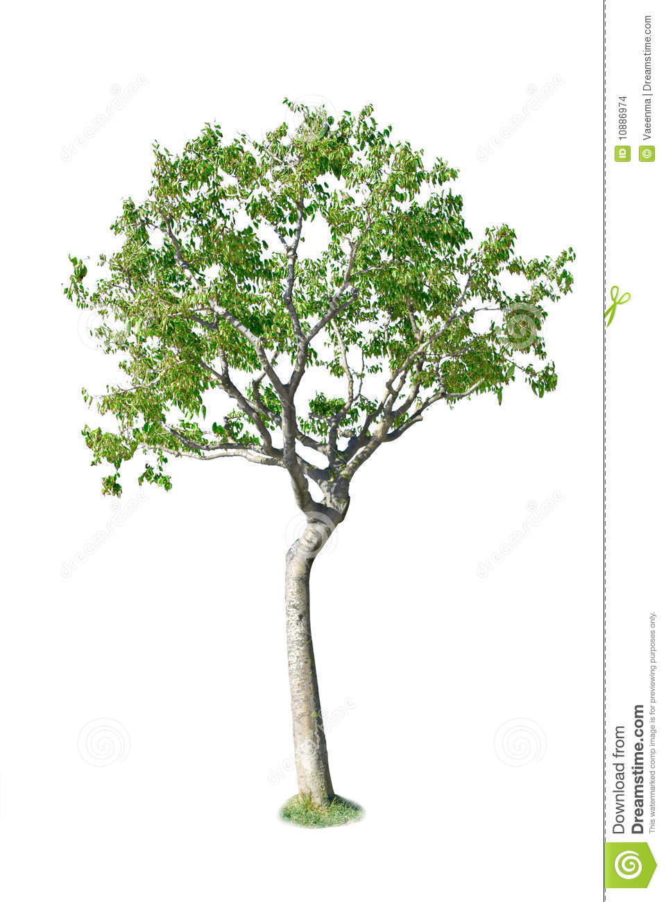 Birch Tree Stock Images - Image: 10886974