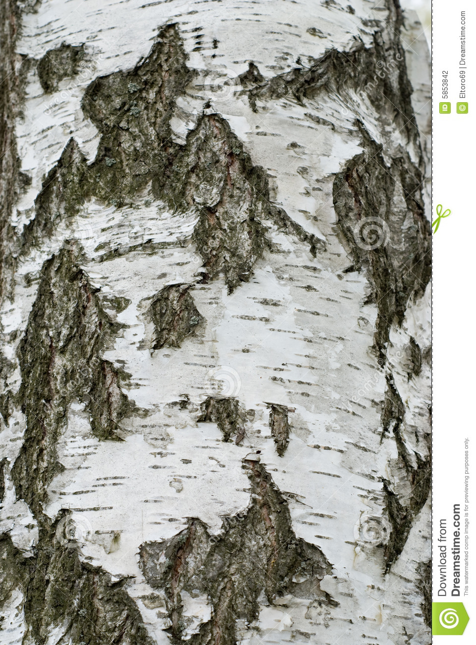Birch Tree Bark Stock Photography - Image: 5853842