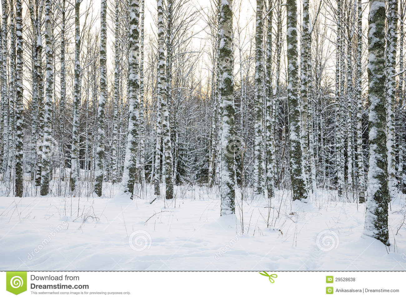 Birch tree forest in winter royalty free stock photos image