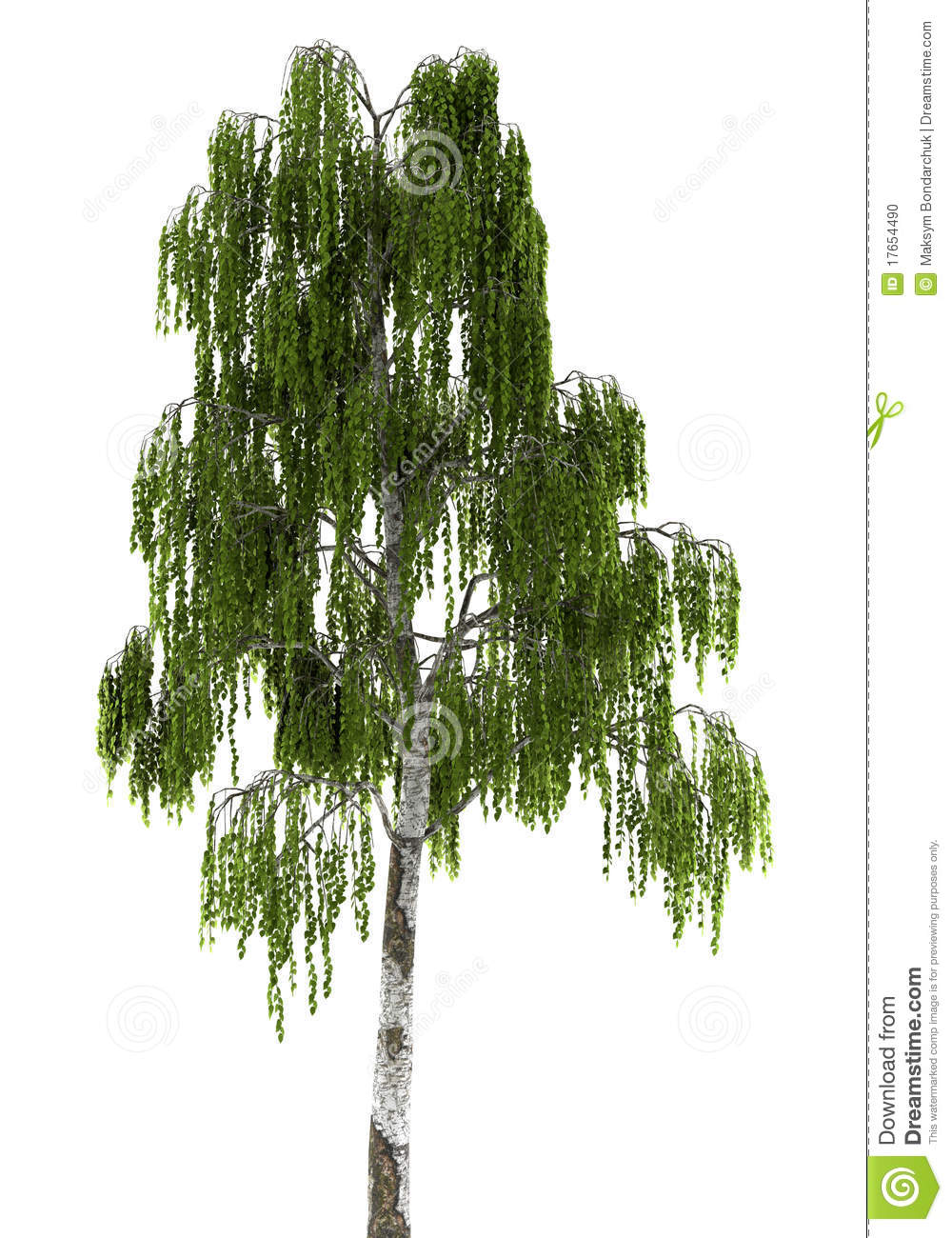 Birch tree isolated on white background