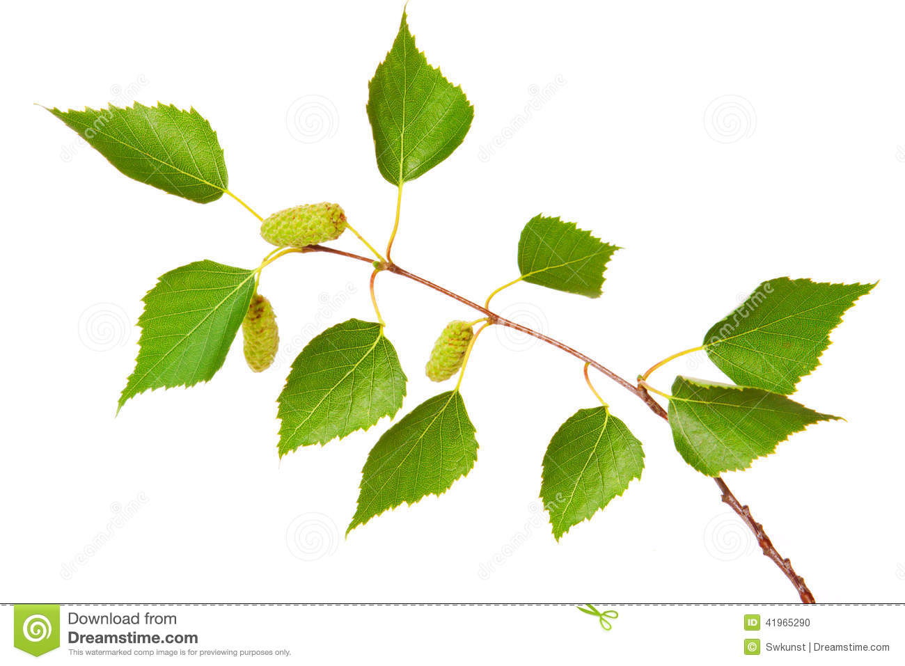 Birch Tree Leaves . Stock Photo - Image: 41965290