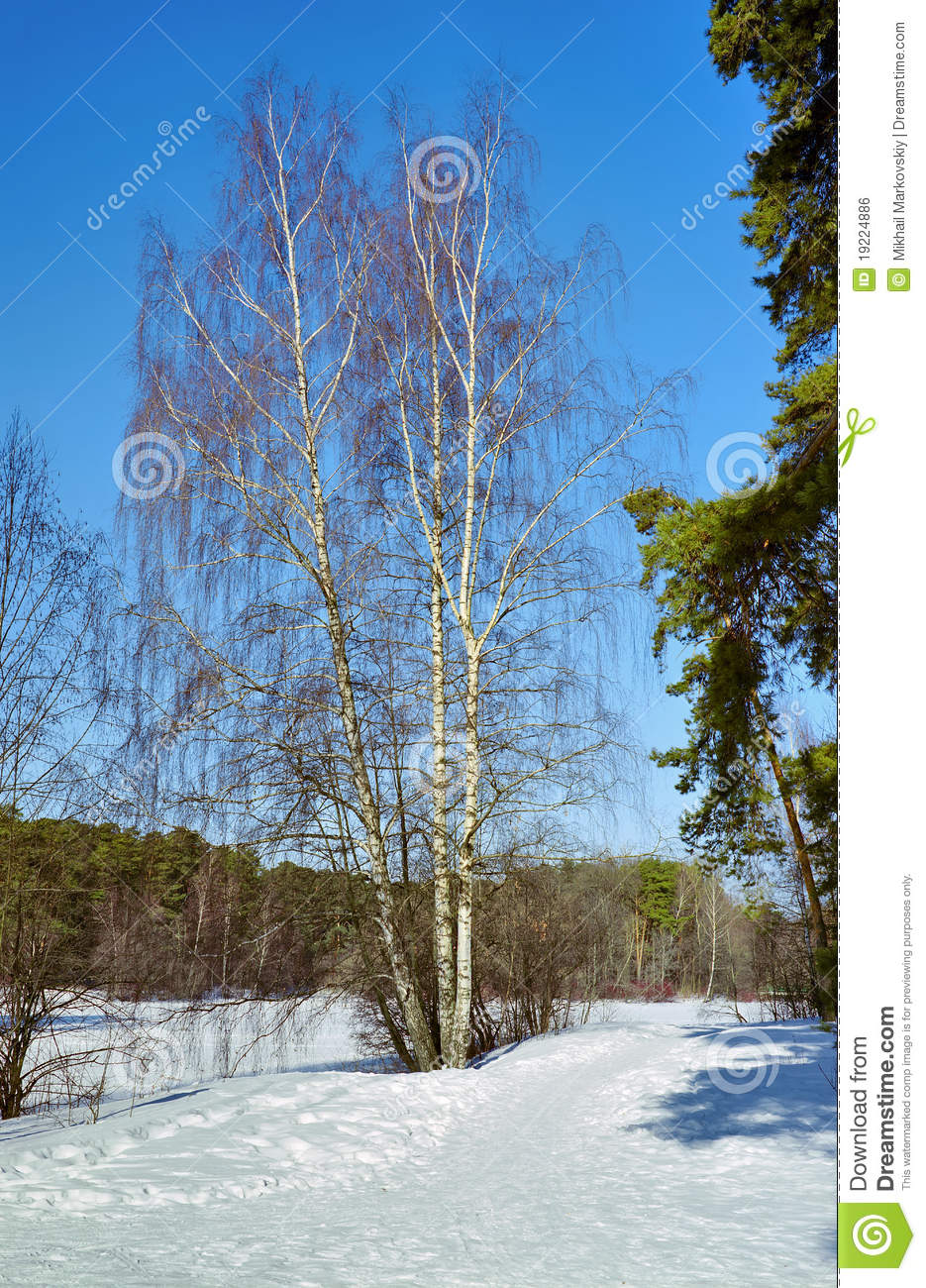 Royalty free stock image birch tree in the winter forest