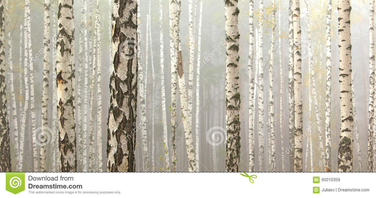 Birch trees in autumn forest in cloudy weather, fall panorama
