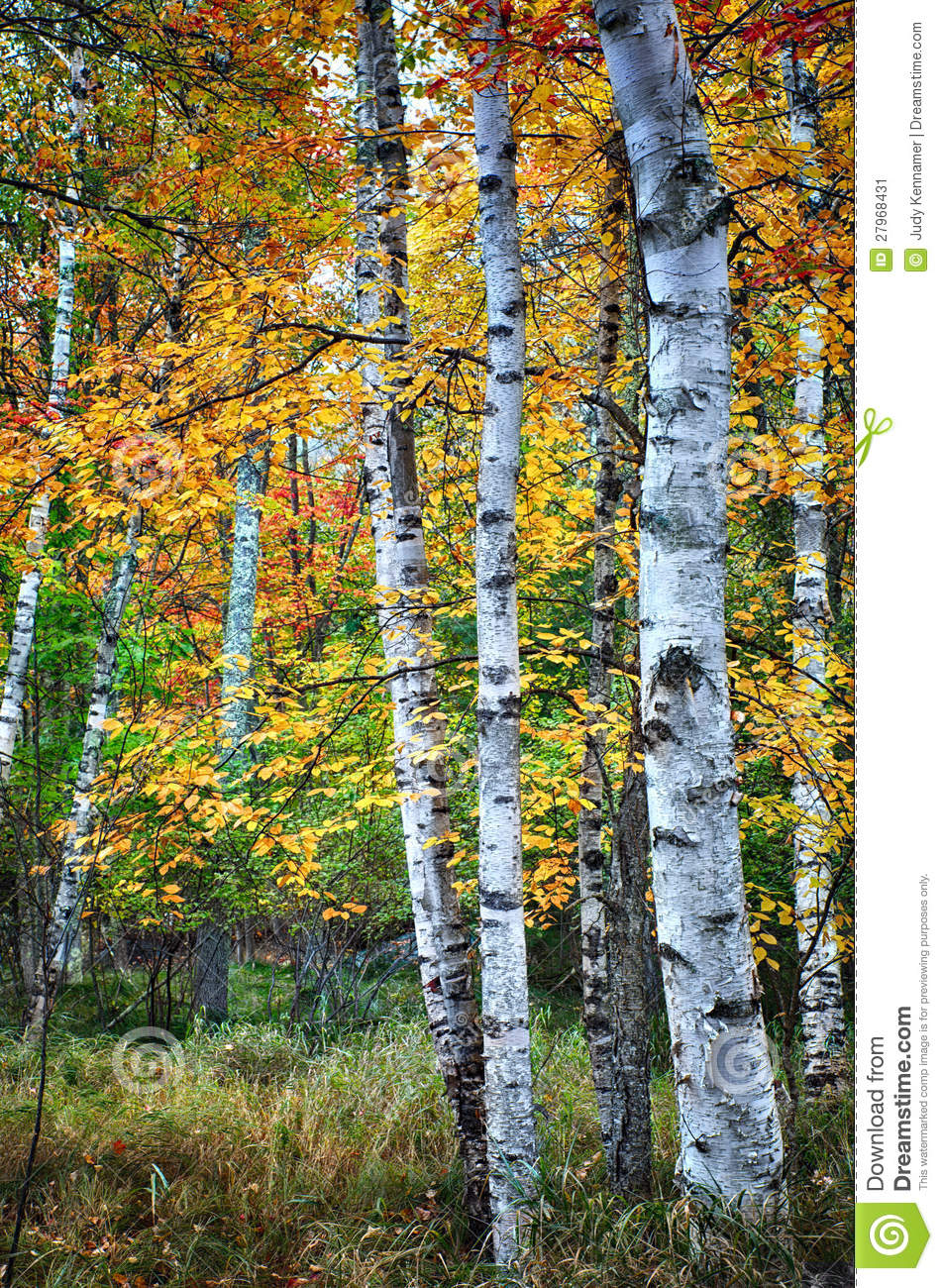 Birch Trees In Autumn Season Stock Image - Image of leaf, colorful ...