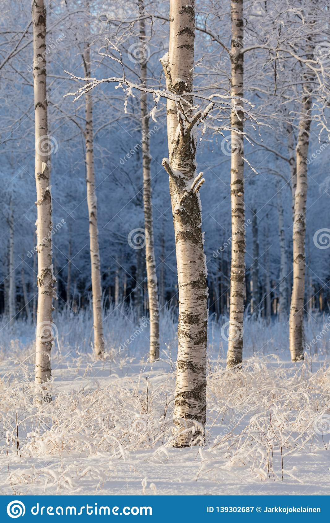 Birch trees on a cold winter day