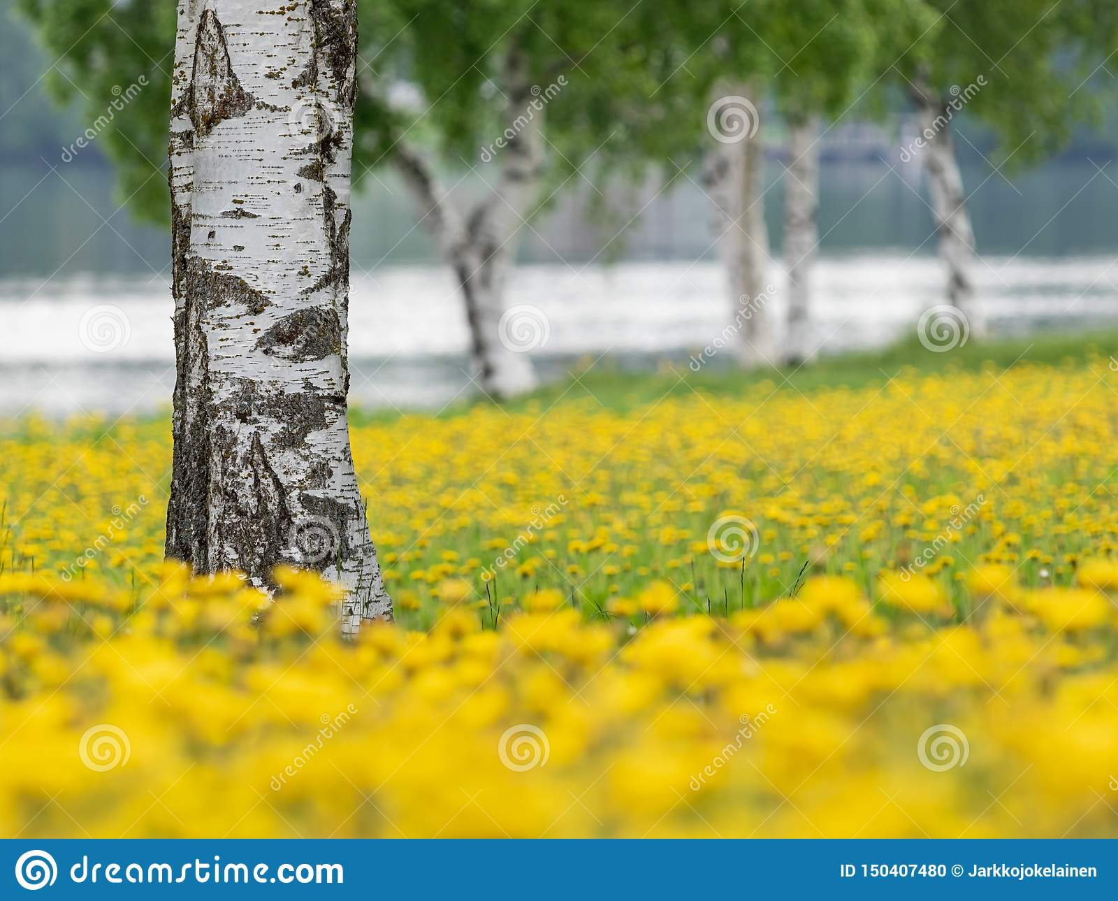 Birch trees in the midst of blossoming dandelions