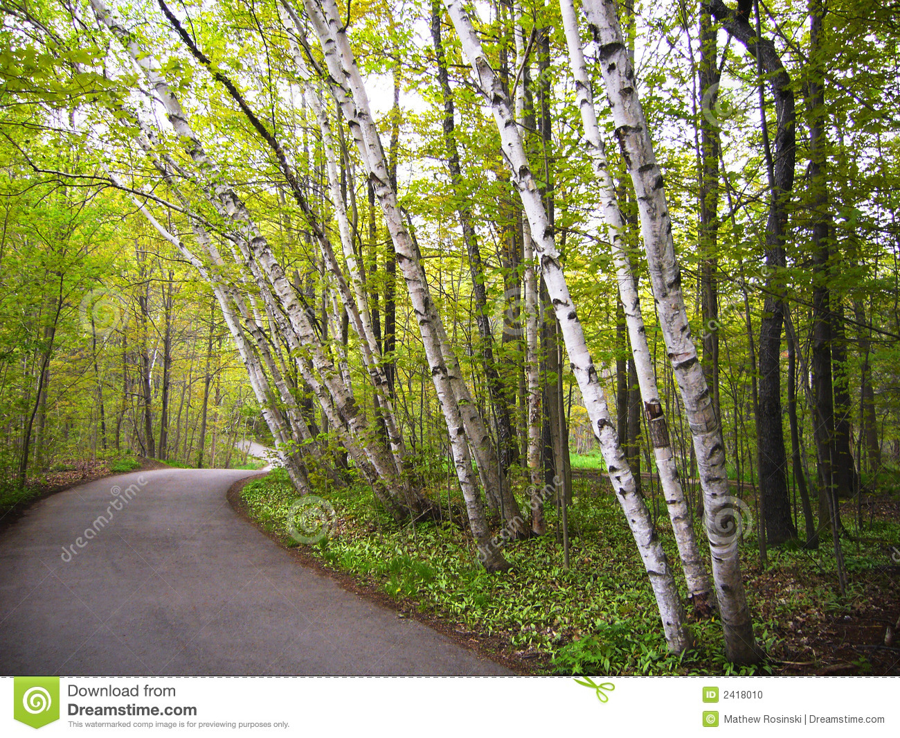 path in the birch - photo #27