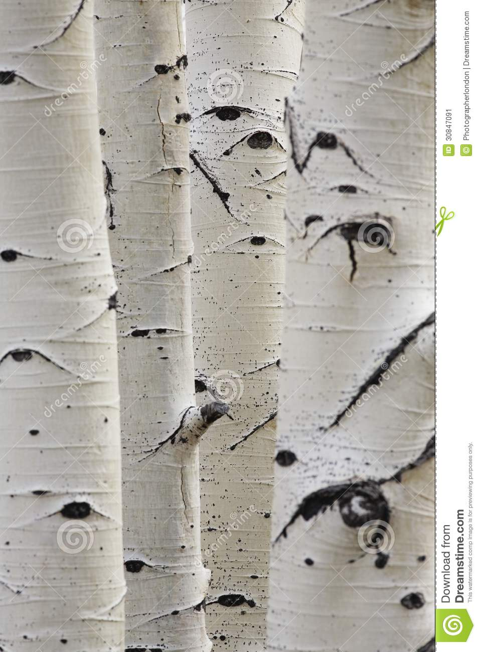 Birch trees in a row close up of trunks stock image image 30847091