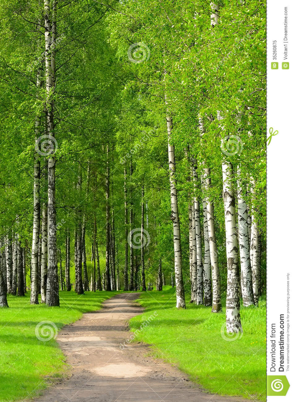 Birch trees royalty free stock photo image 35260875